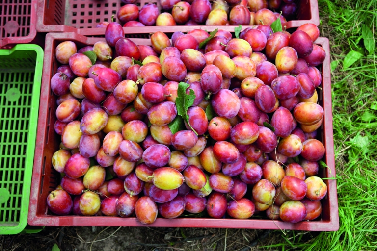 Freshly-picked-Victoria-Plums-from-Mockbeggar-Farm-Kent-the-latest-English-Plums-season-for-a-decade